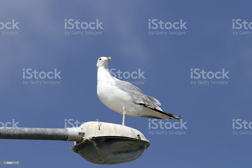 gull over blue sky royalty-free stock photo