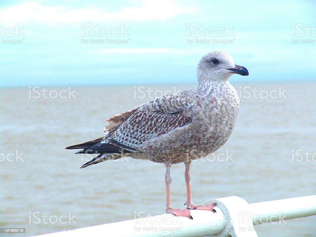 Gull stock photo