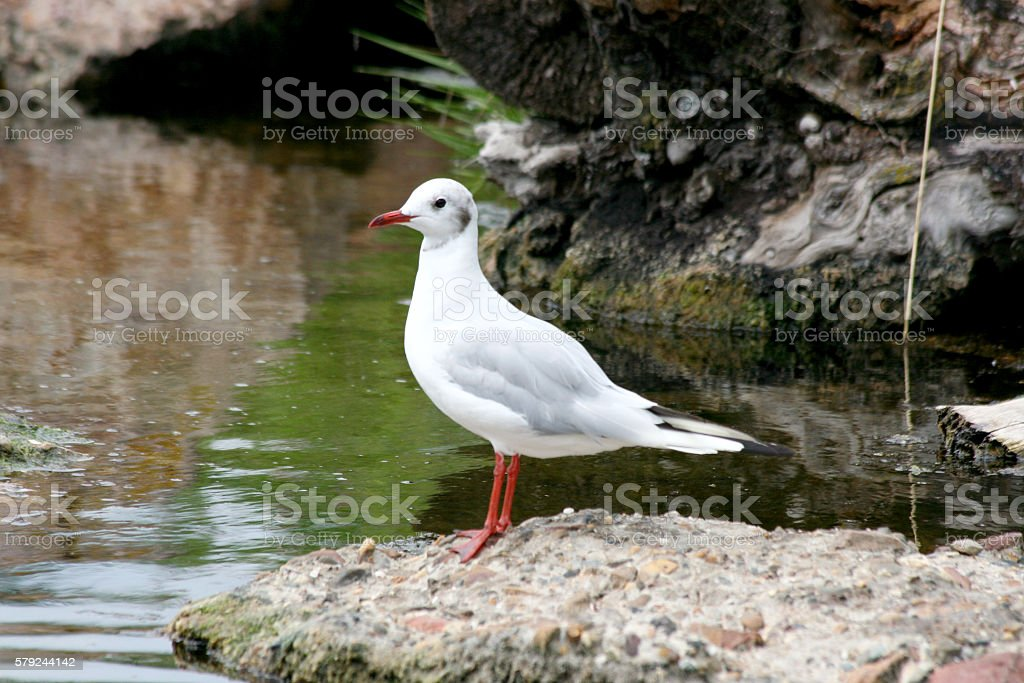 gull ( Larus novaehollandiae) stock photo