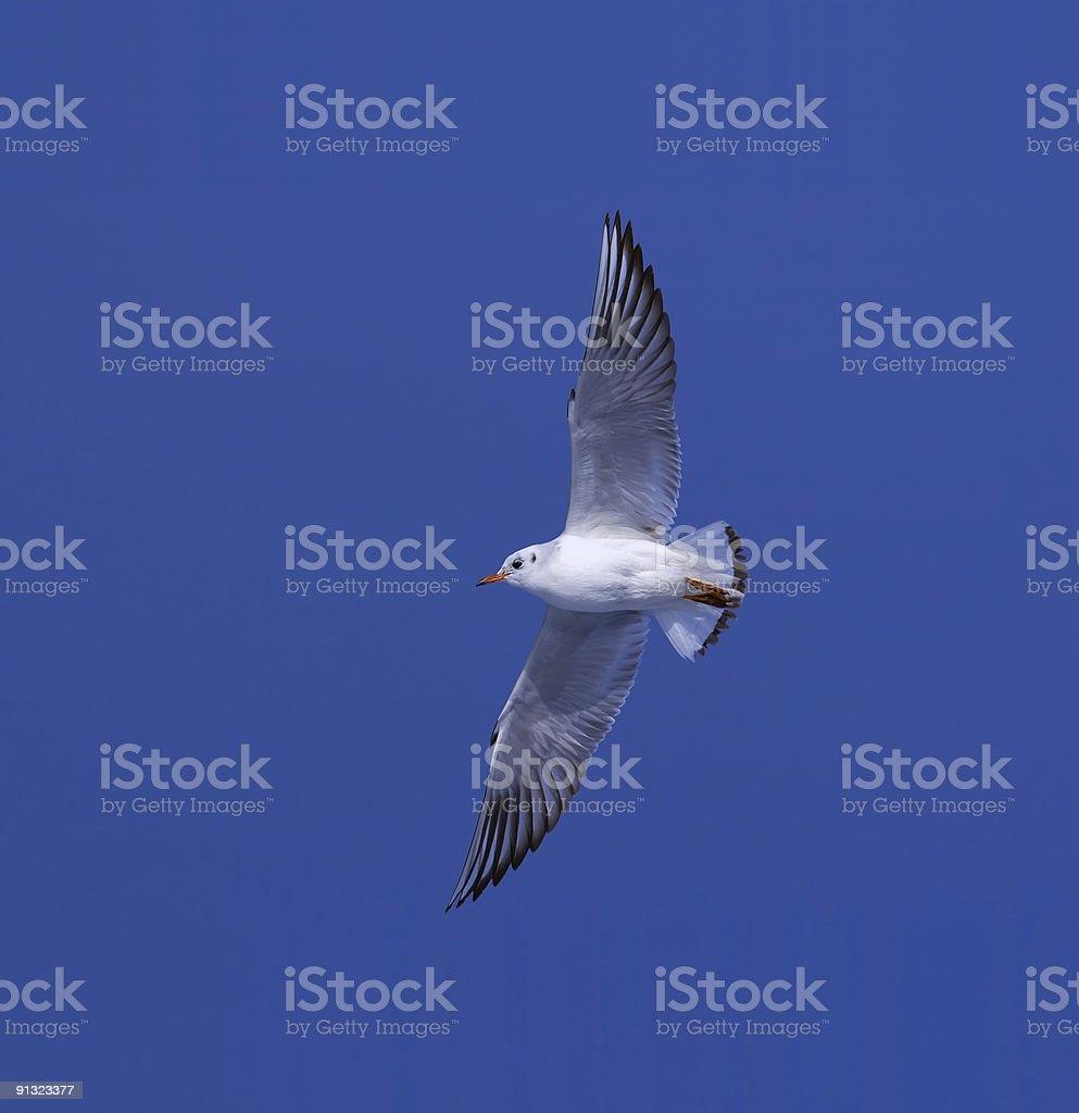 Gull royalty-free stock photo