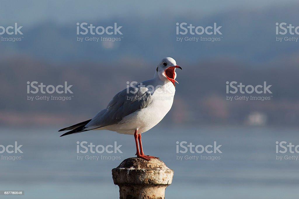 Gull posing on the lake stock photo