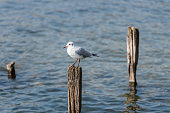 Gull sitting on a timber needle