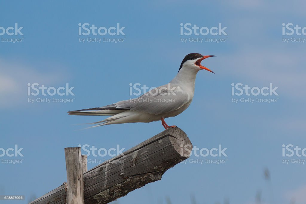 gull sitting on a wooden log stock photo