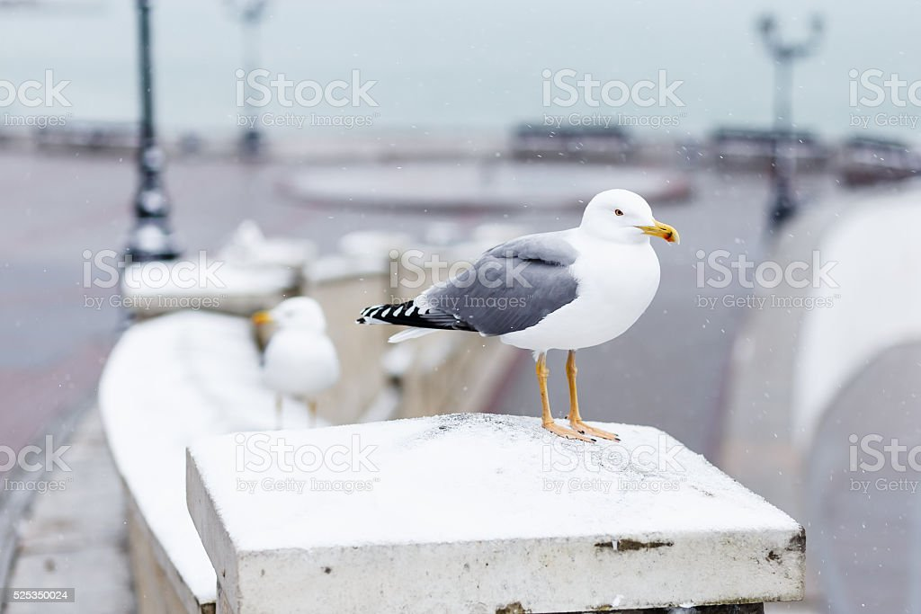 Gull sitting on the snow in city a winter day stock photo