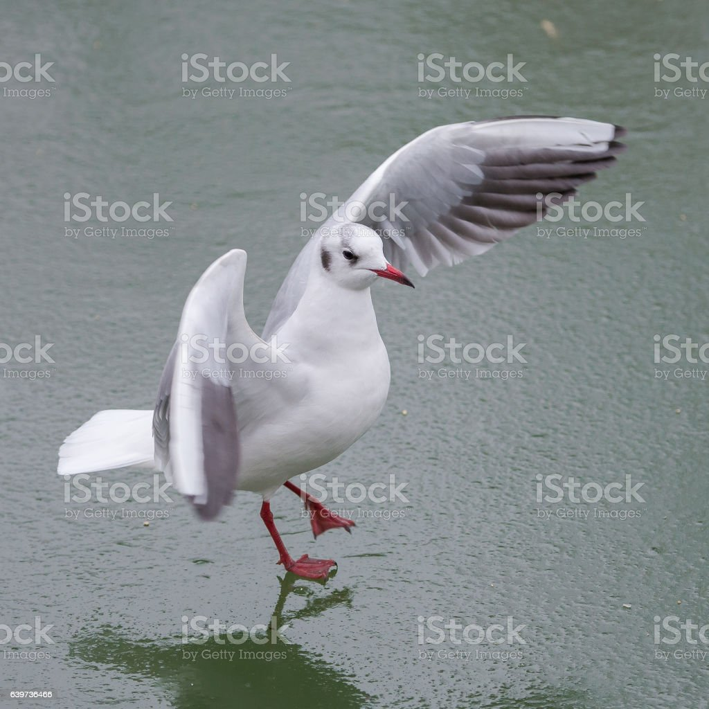 Gull which slides on a ice cold pond stock photo