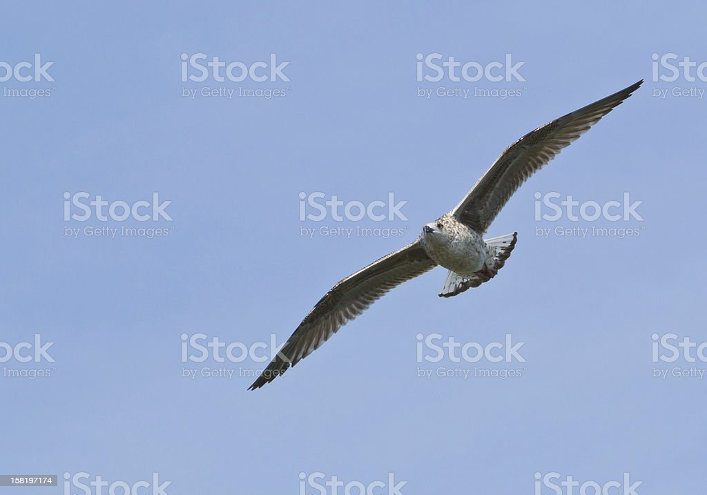 Gull with Wings Spread in Flight royalty-free stock photo