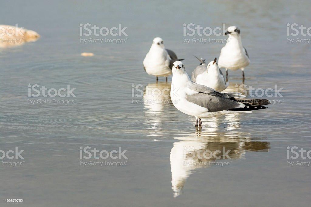 Gulls Drinking From The Recent Rain stock photo