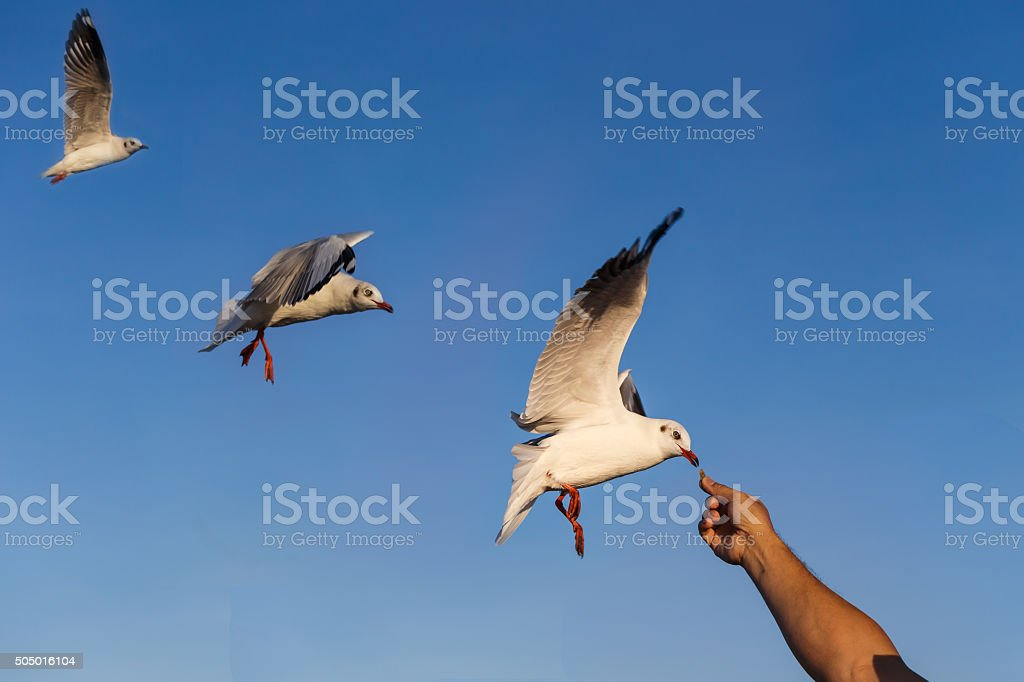 Gulls eating food from hand stock photo