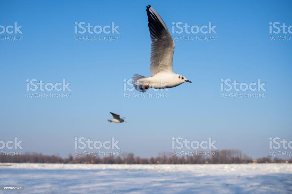 Gulls flying close-up stock photo