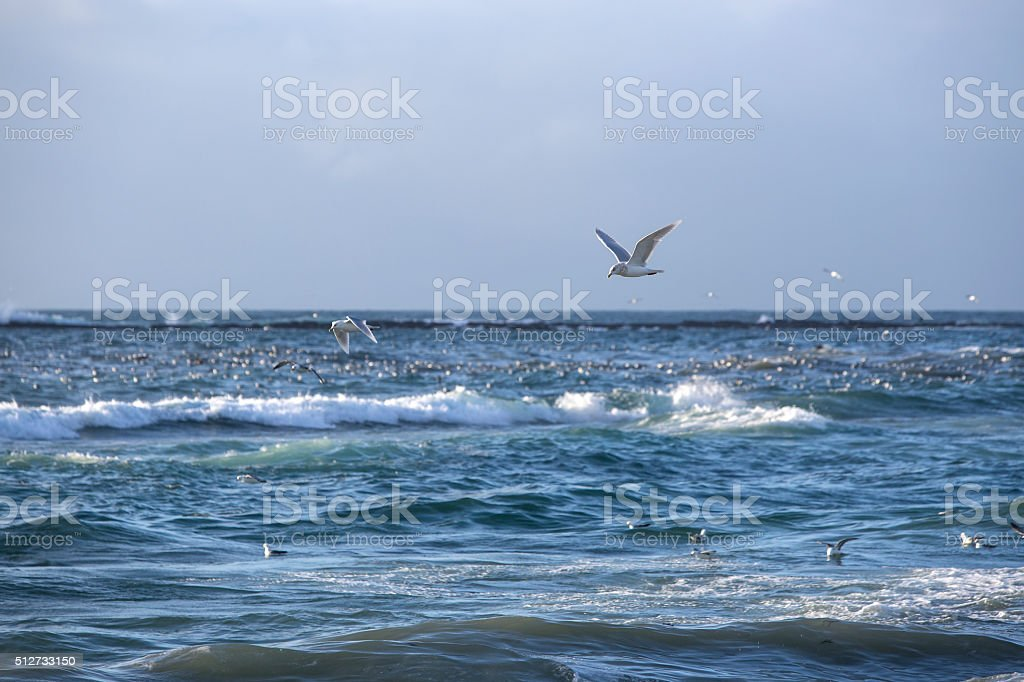 Gulls hunt for fishes stock photo