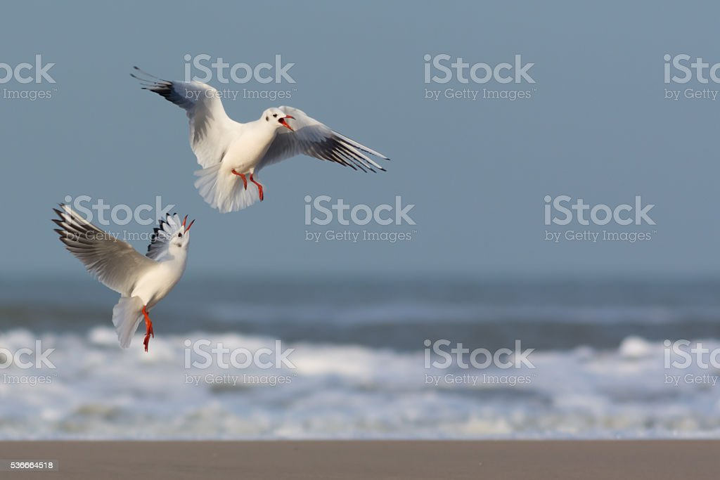 Gulls in conflict stock photo