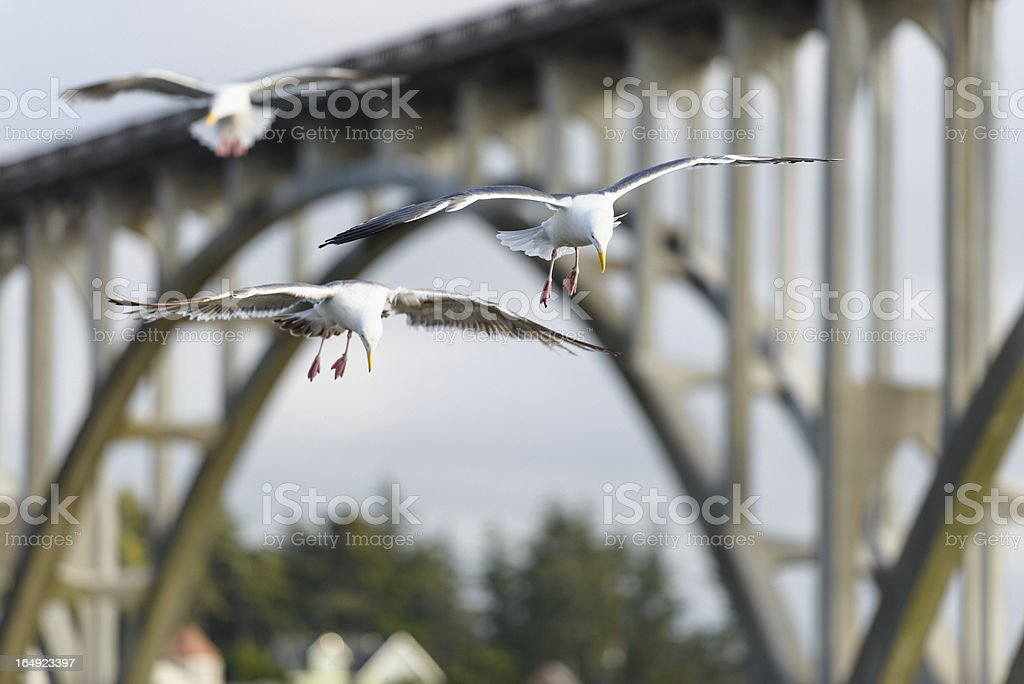 Gulls in flight stock photo