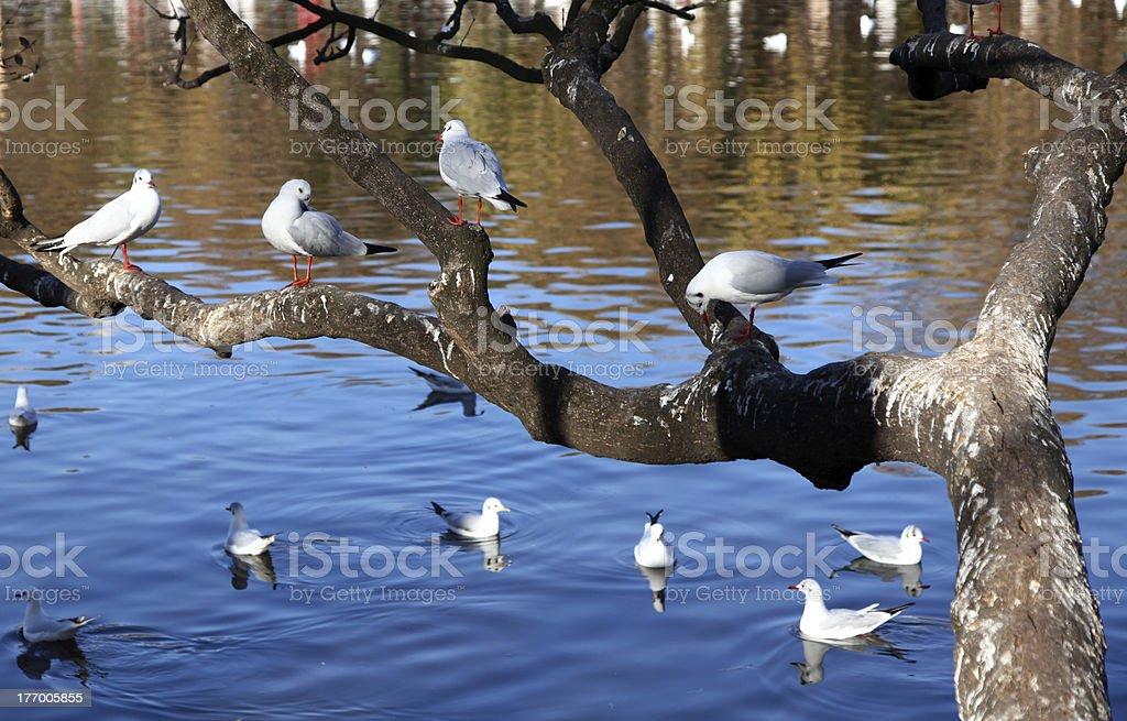 Gulls in tree royalty-free stock photo