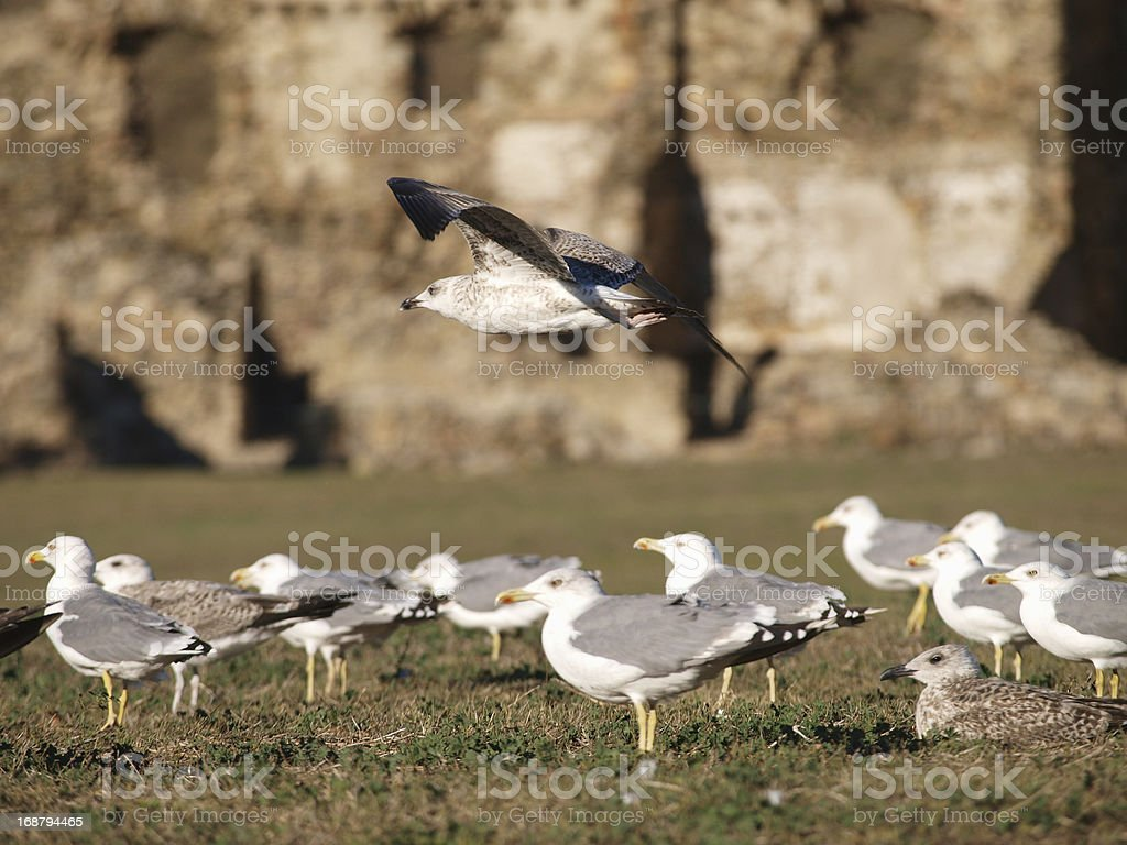 Gulls in wild royalty-free stock photo