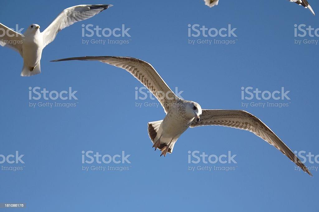 Gulls on a blue sky royalty-free stock photo