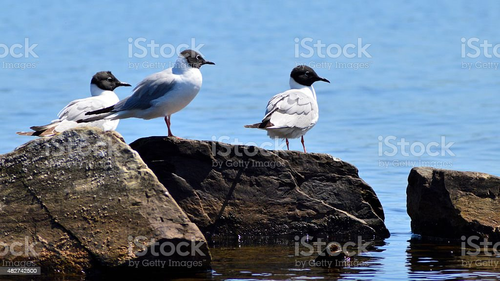 Gulls on a Rock in a Lake stock photo
