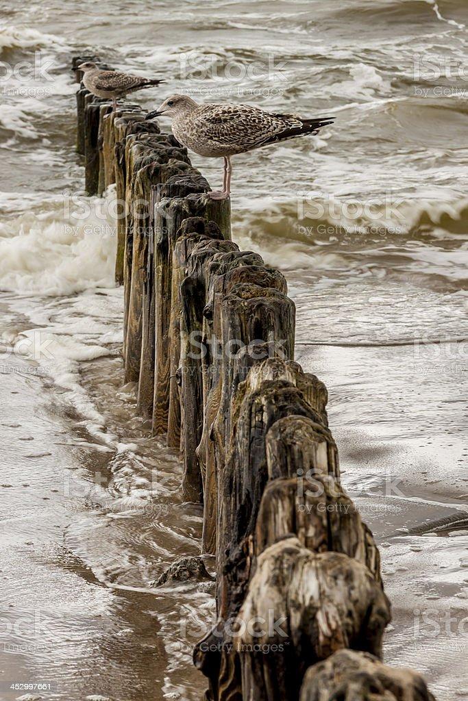 Gulls on wooden waterbreak. stock photo