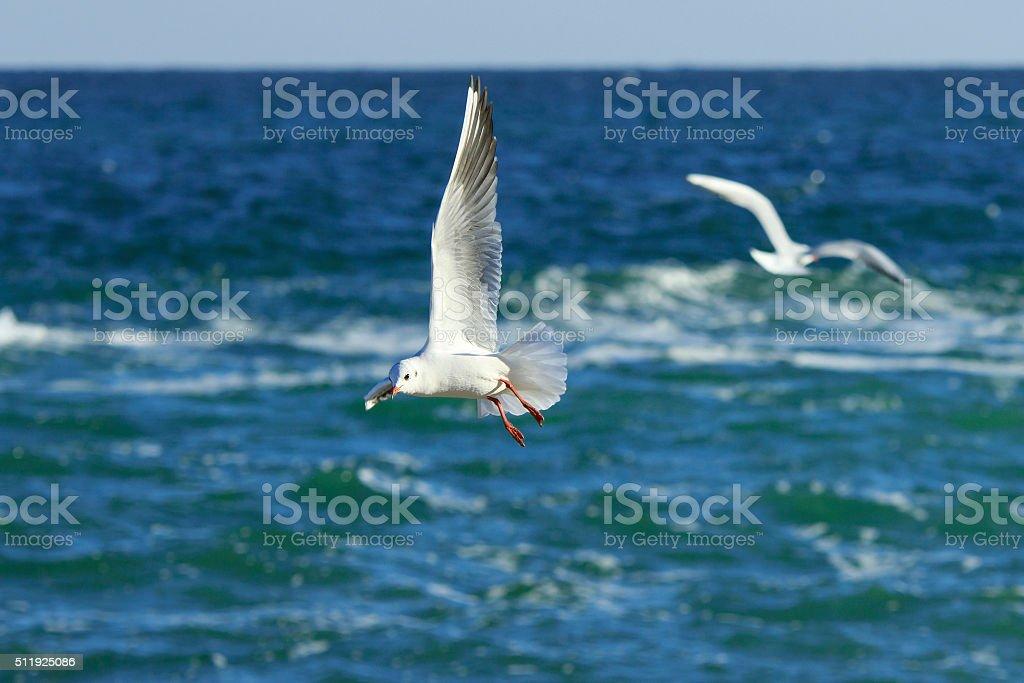 Gull's pirouettes stock photo