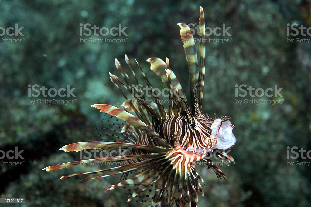 Gulping Young Lionfish royalty-free stock photo