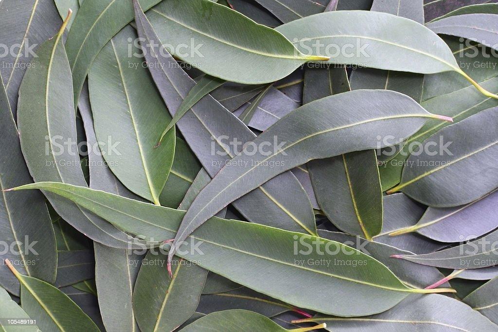 Gum Leaf Background stock photo