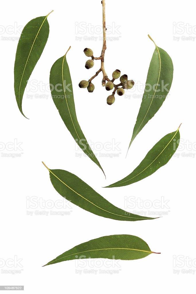 Gum Leaf Design Elements royalty-free stock photo