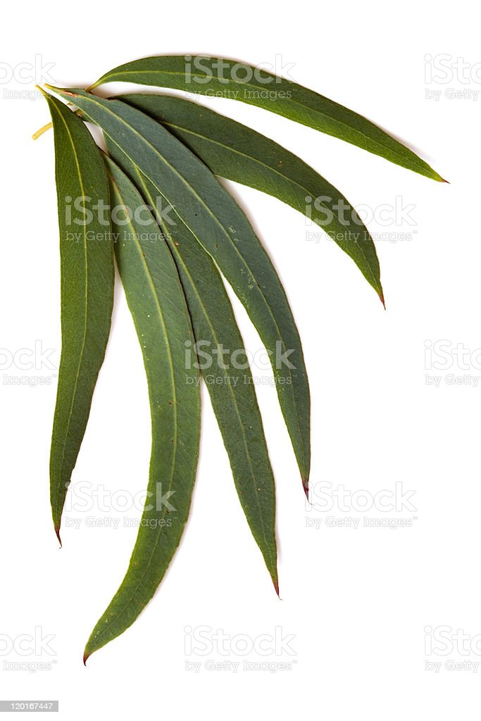 Gum leaves in a set of six in green royalty-free stock photo