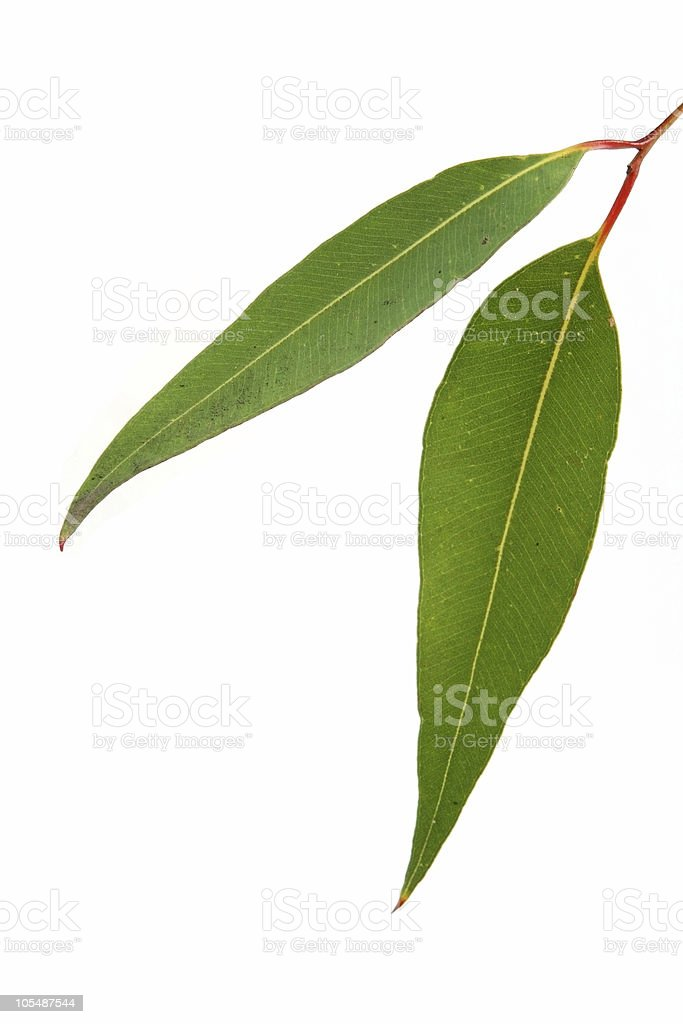 Gum Leaves on White royalty-free stock photo