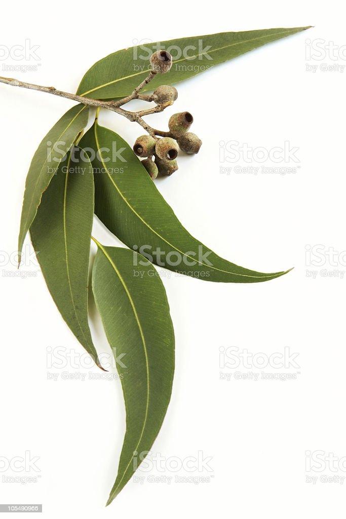Gum Leaves stock photo