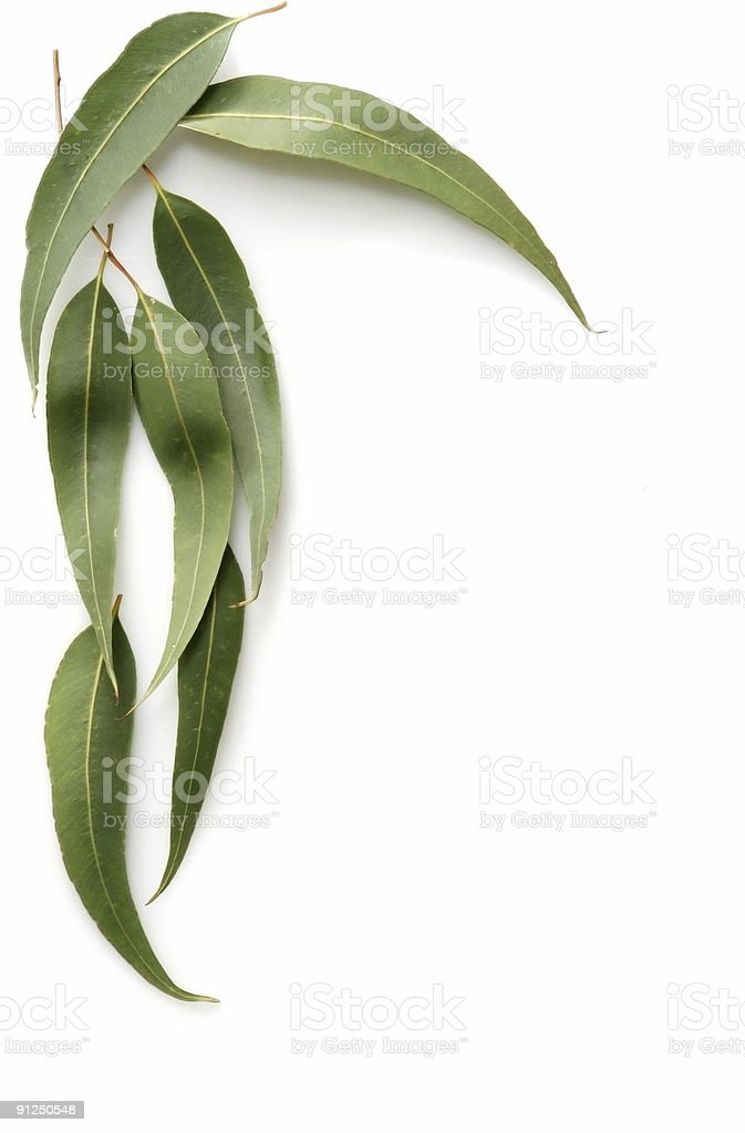 Gum Leaves stock photo