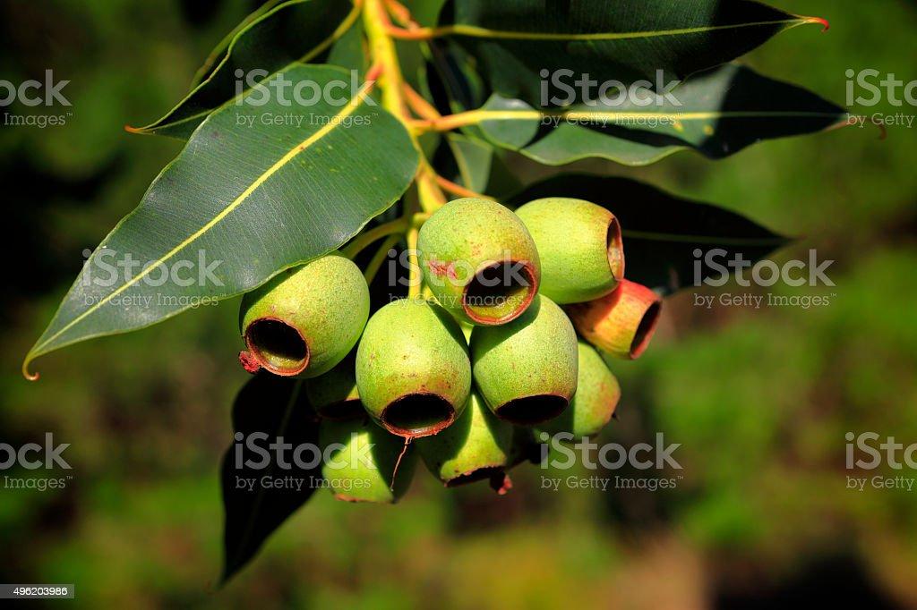 Gum Nut Eucalyptus Tree Australian Culture stock photo