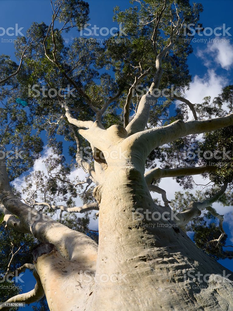 gum tree and blue sky royalty-free stock photo
