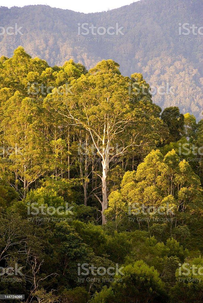 gum tree bush mountains stock photo