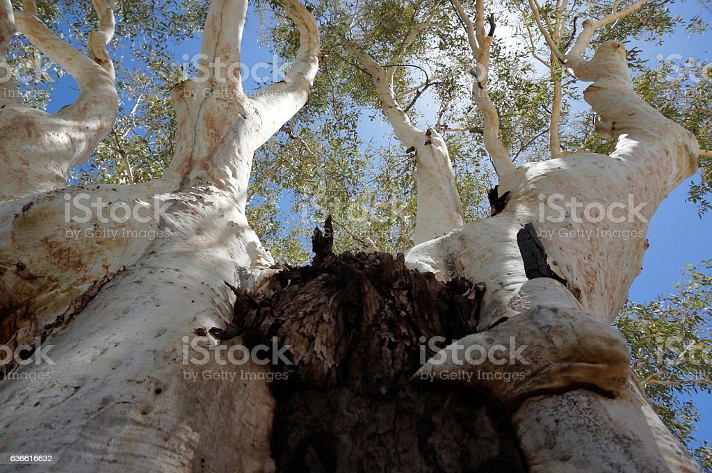 Gum tree in Australia stock photo