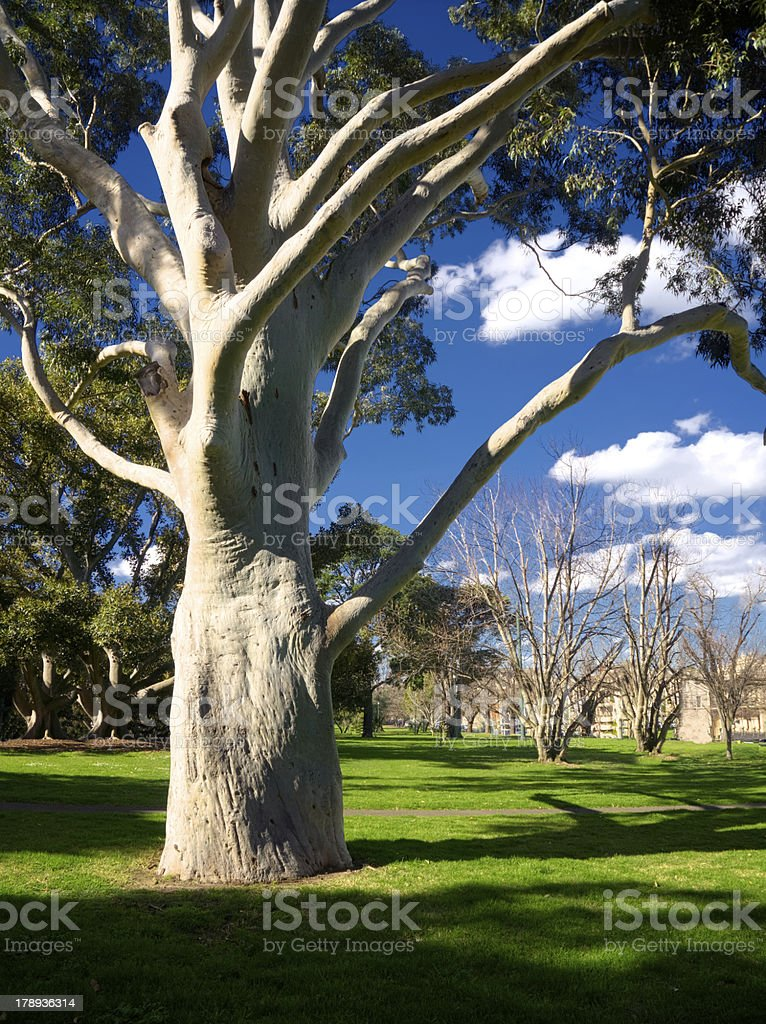 gum tree in park royalty-free stock photo