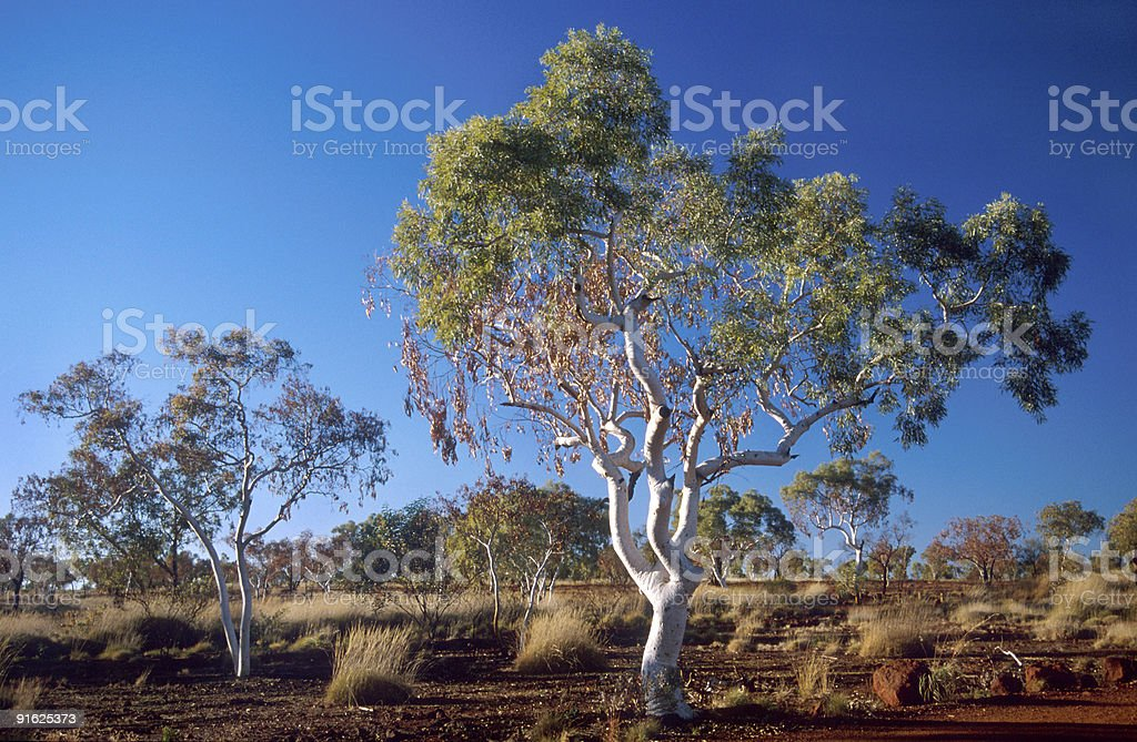 Gum tree stock photo