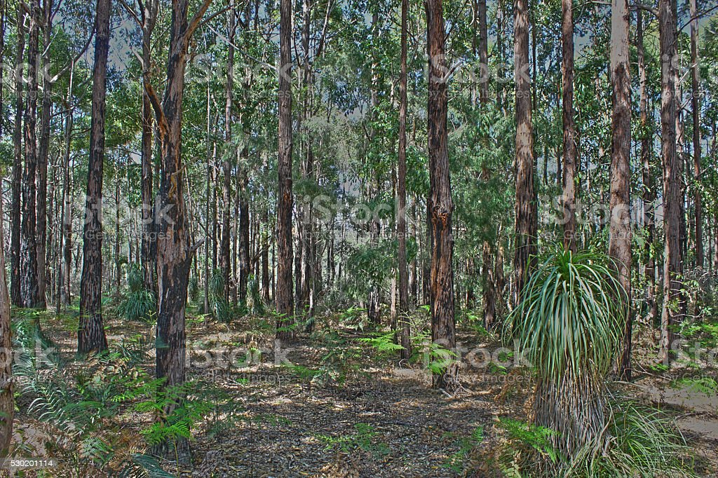 Gum Trees and Grass Tree growing in Bramley Forest, Australia stock photo