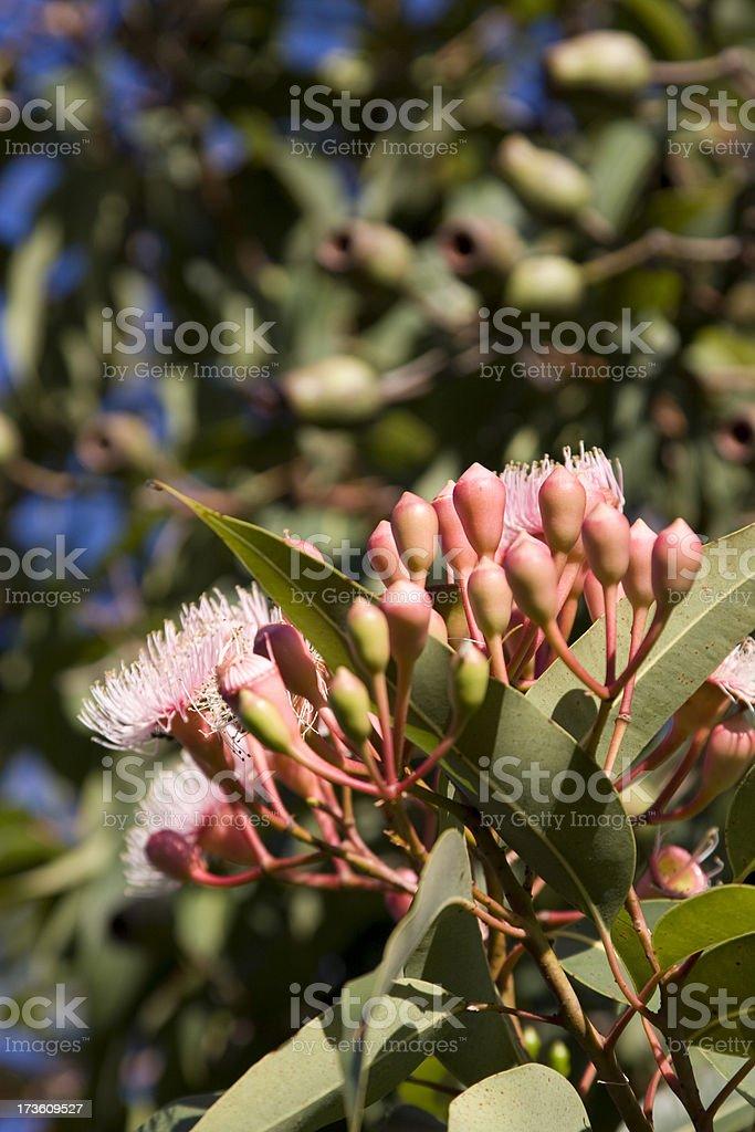 Gumnut tree stock photo