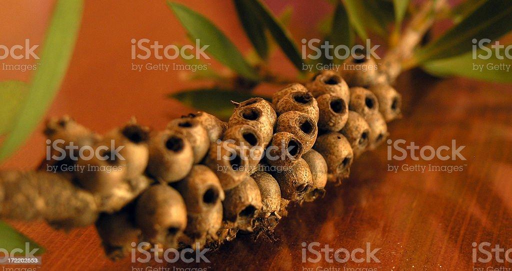 Gumnuts - Close Up stock photo
