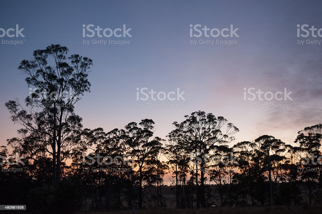 Gumtrees at first light stock photo