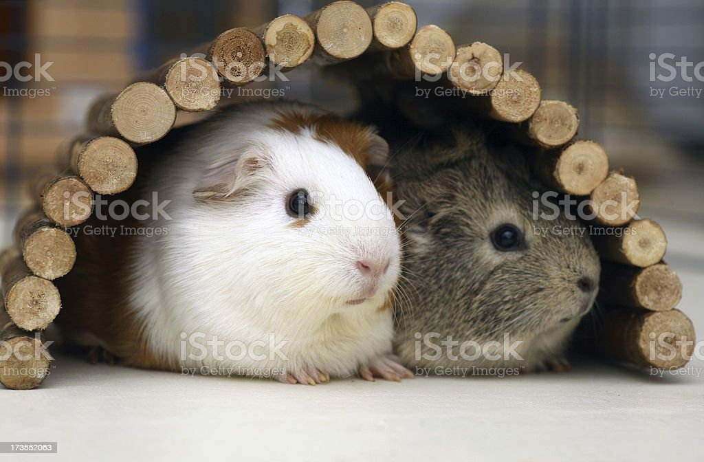 Guniea pigs sheltering stock photo