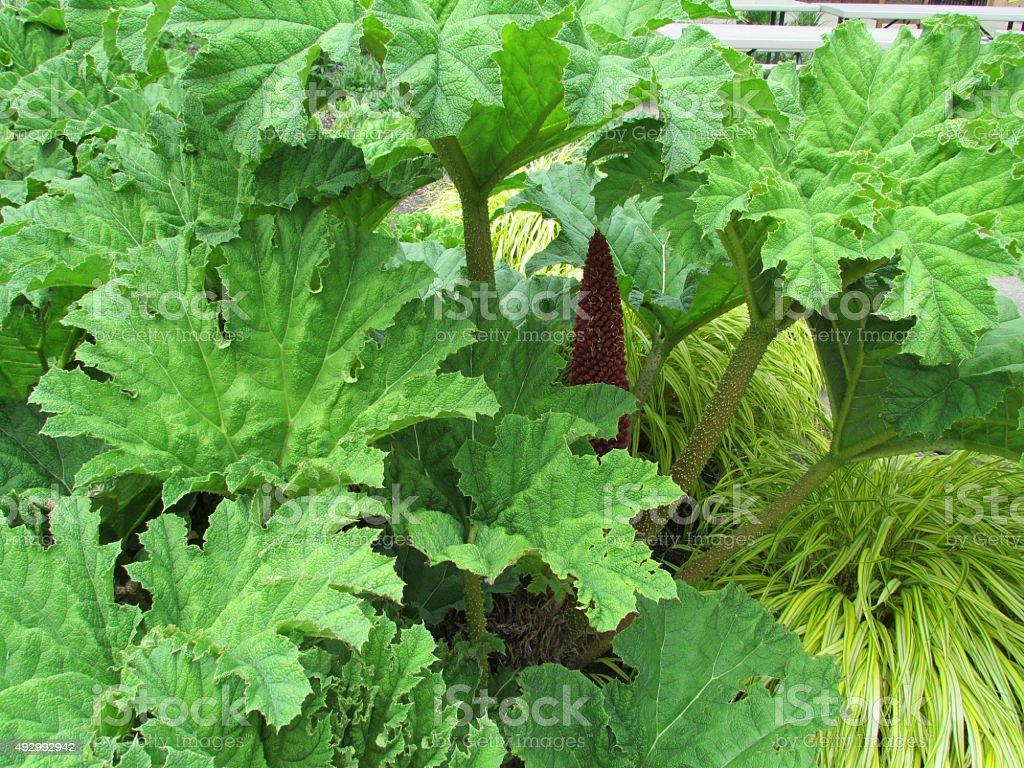 Gunnera Plant stock photo