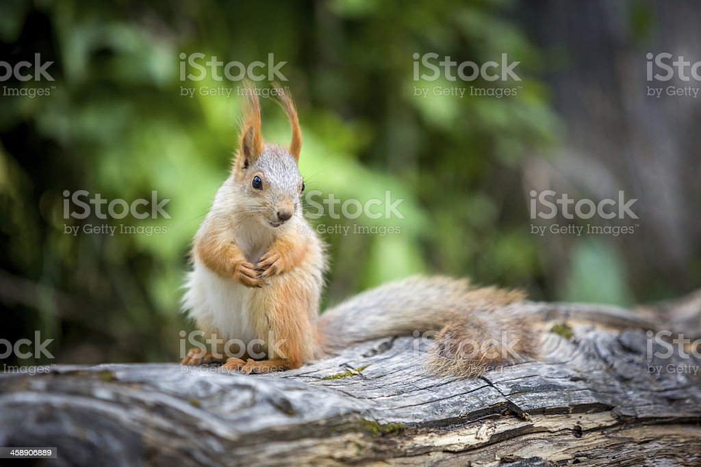 Gunny squirrel royalty-free stock photo