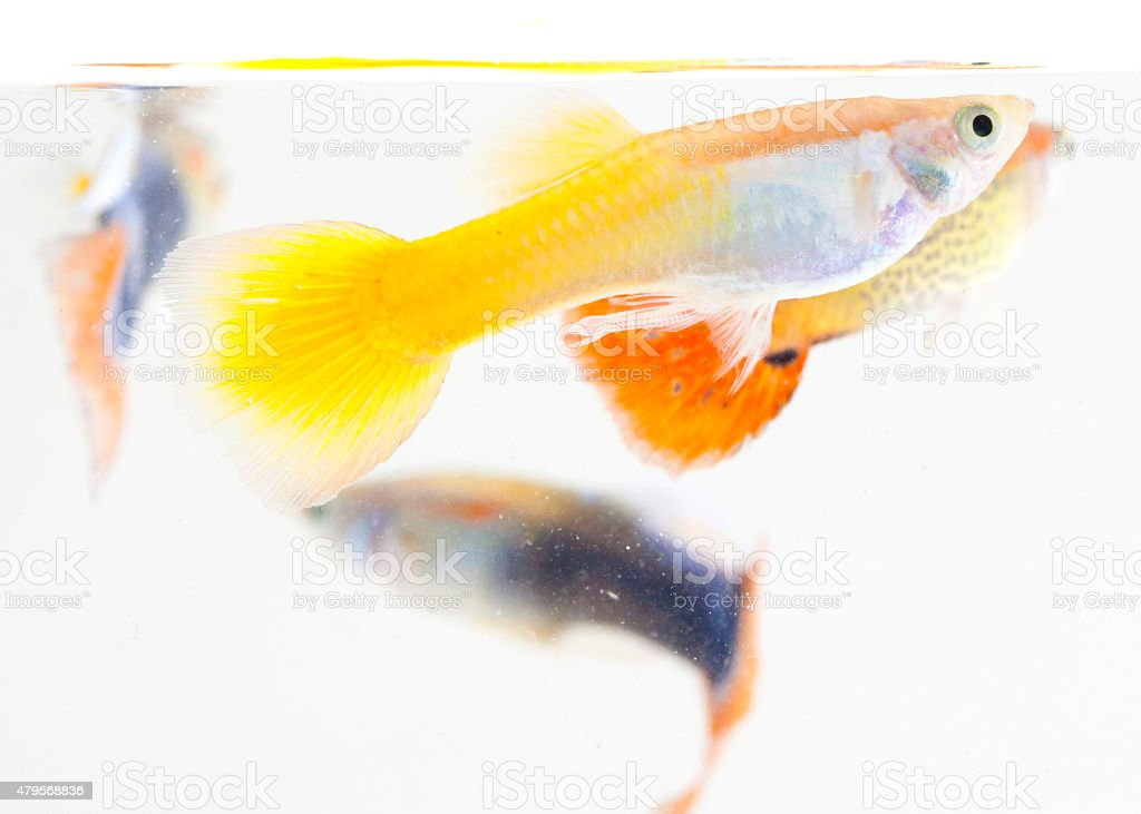 Guppy fish in white background stock photo