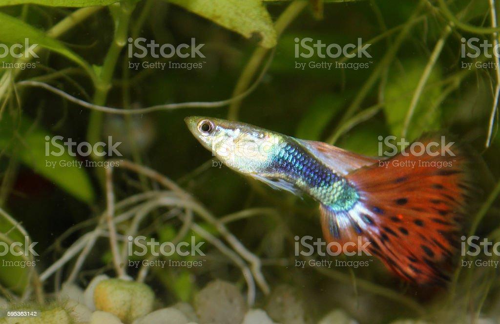 Guppy fish stock photo