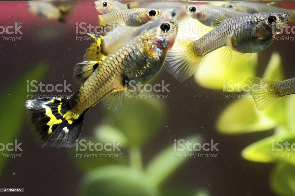 Guppy Multi Colored Fish royalty-free stock photo