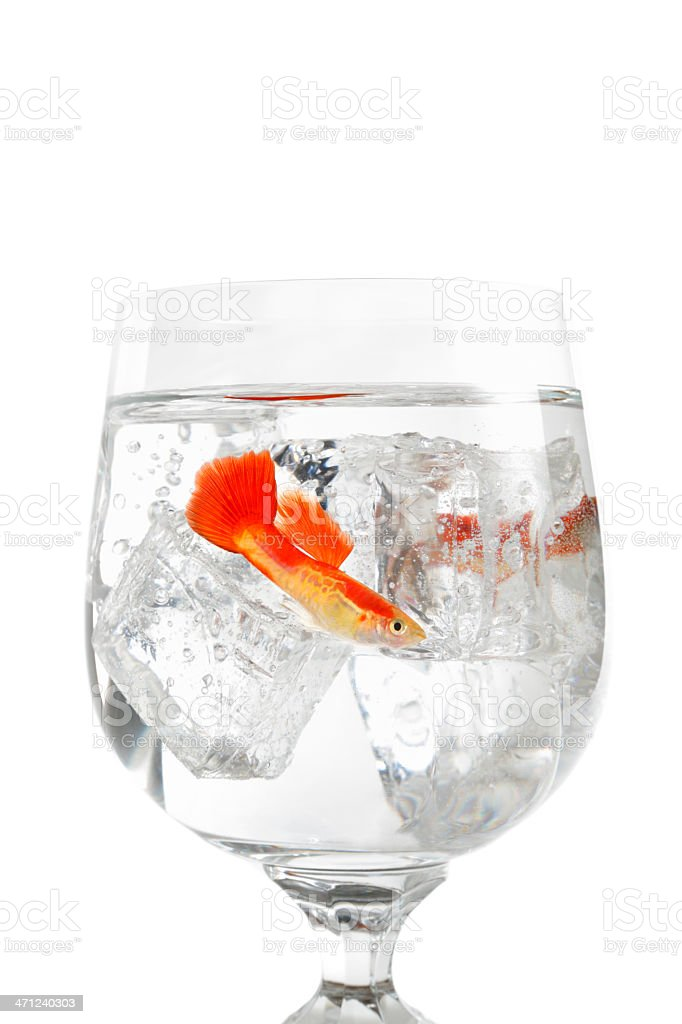 Guppy On The Rocks stock photo