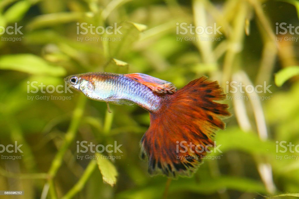Guppy   (Poecilia reticulata) stock photo