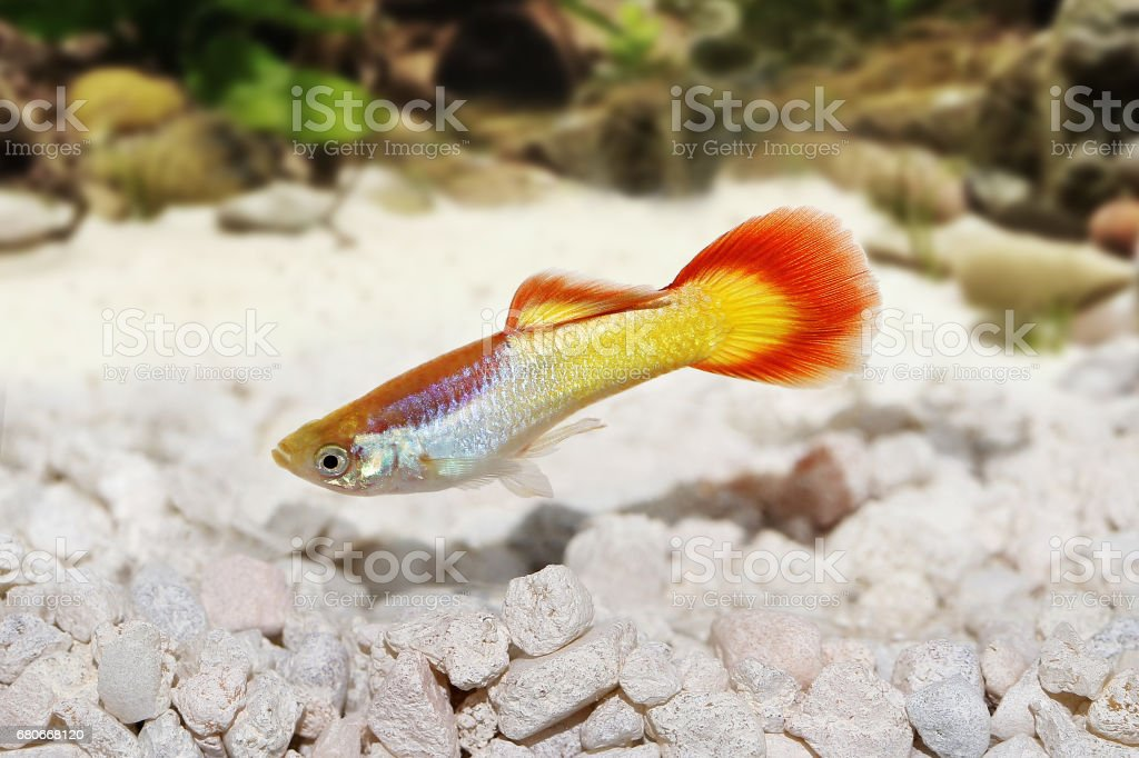 Guppy Poecilia reticulata colorful rainbow tropical aquarium fish stock photo