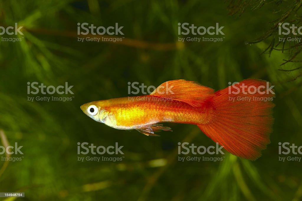 Guppy. Poecilia (Lebistes) reticulata. stock photo