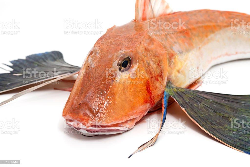 gurnard fish royalty-free stock photo